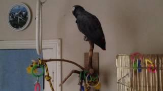 Попугай жако Боря говорит, поет, танцует, рассказывает стишки ...