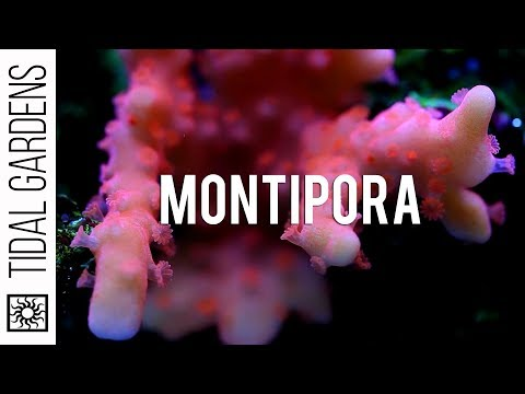Different varieties of Montipora SPS corals