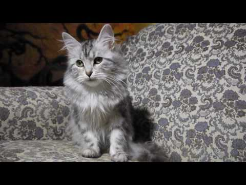 Siberian Cat - Marbled Siberian Kitten