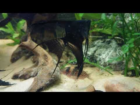 Black Veiltail Angelfish (eBay Listing - NOW SOLD)