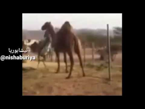 Donkey vs Camel   خر در مقابل شتر thumbnail