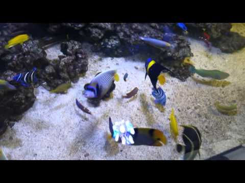 Asfur Angelfish(Pomacanthus asfur) - Marine pond