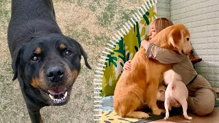 Old Rottweiler and Retriever met me and changed happily!