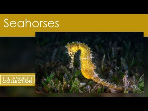 Aquarium DVD - Seahorses With Relaxing Music And Nature Sounds