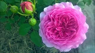 10 советов от немецких розоводов. Нюансы выращивания роз.