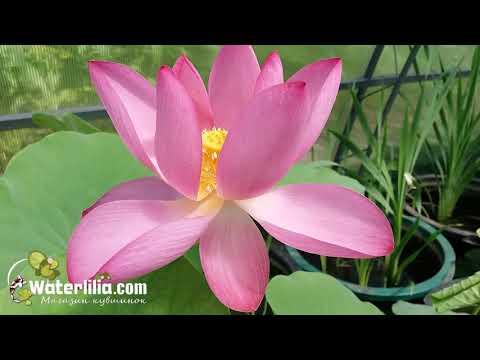 Летнее цветение лотоса в вазоне без пруда