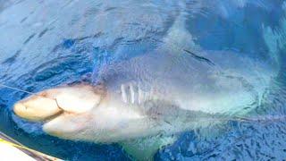 3 Fisherman to Defeat One Shark - Their Biggest Shark Ever Caught - Florida Saltwater Shark Fishing