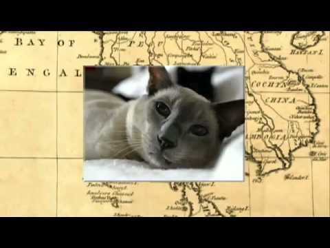 Cats 101  Siamese