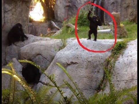 Gorilla Baby Waving Hello then Slaps Dad in the Head !