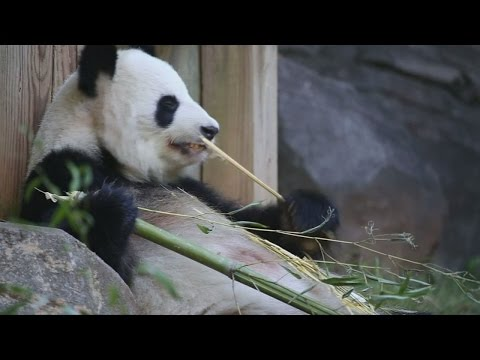 Mother of only giant panda twins to deliver another set at Zoo Atlanta