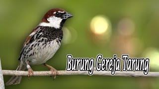 Download lagu Suara Burung Gereja Gacor Untuk Masteran
