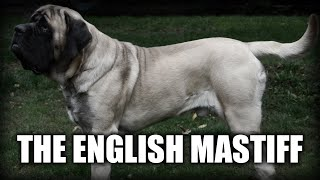 THE ENGLISH MASTIFF  A QUICK LOOK AT THE HISTORY AND BREED STANDARD