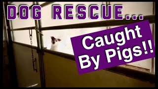 Dog Rescue He's Trapped By Pigs!! Funny Farm #shorts