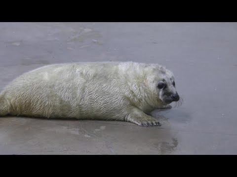 Brookfield Zoo Welcomes Gray Seal Pup