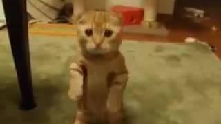Смешной рыжий котенок стоит на задних лапаках ))