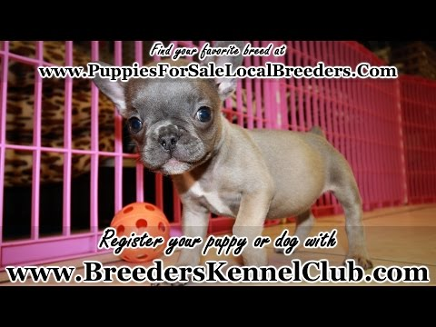 LILAC, BLUE, FRENCH BULLDOG PUPPIES FOR SALE IN GEORGIA PUPPY BREEDERS