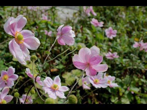 小さな窓の花ごよみ 417 秋の詩(うた)♪メロディア・センティメンタル:波多野睦美  つのだたかし ♪