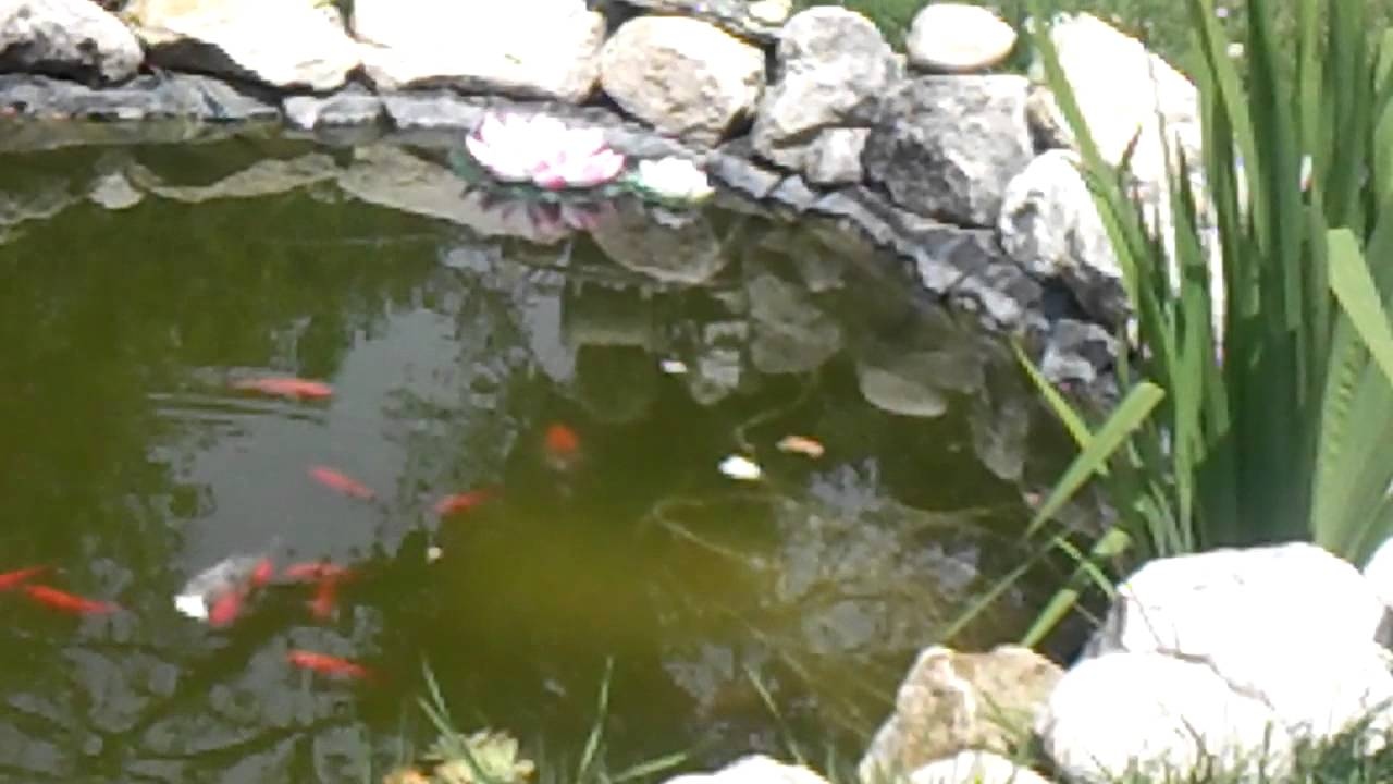 Laghetto con pesci rossi e carpe koi youtube for Laghetti e carpe koi