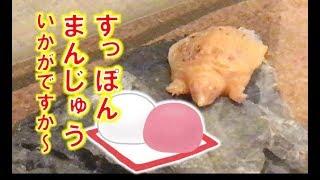 【アルビノ飼育】まるでまんじゅうみたいに寝てるアルビノスッポン Sleeping albino soft-shelled turtle