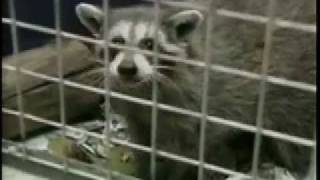 CTV News Raccoon Rabies - 4-23-08 11_30 PM.mov