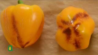 Progetto il peperone Cuneo