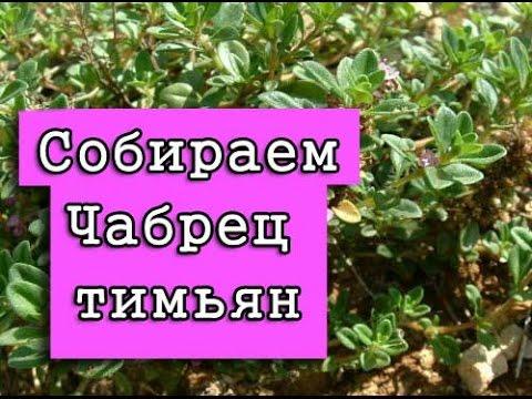 Тимьян ползучий, или Чабрец. Описание, выращивание