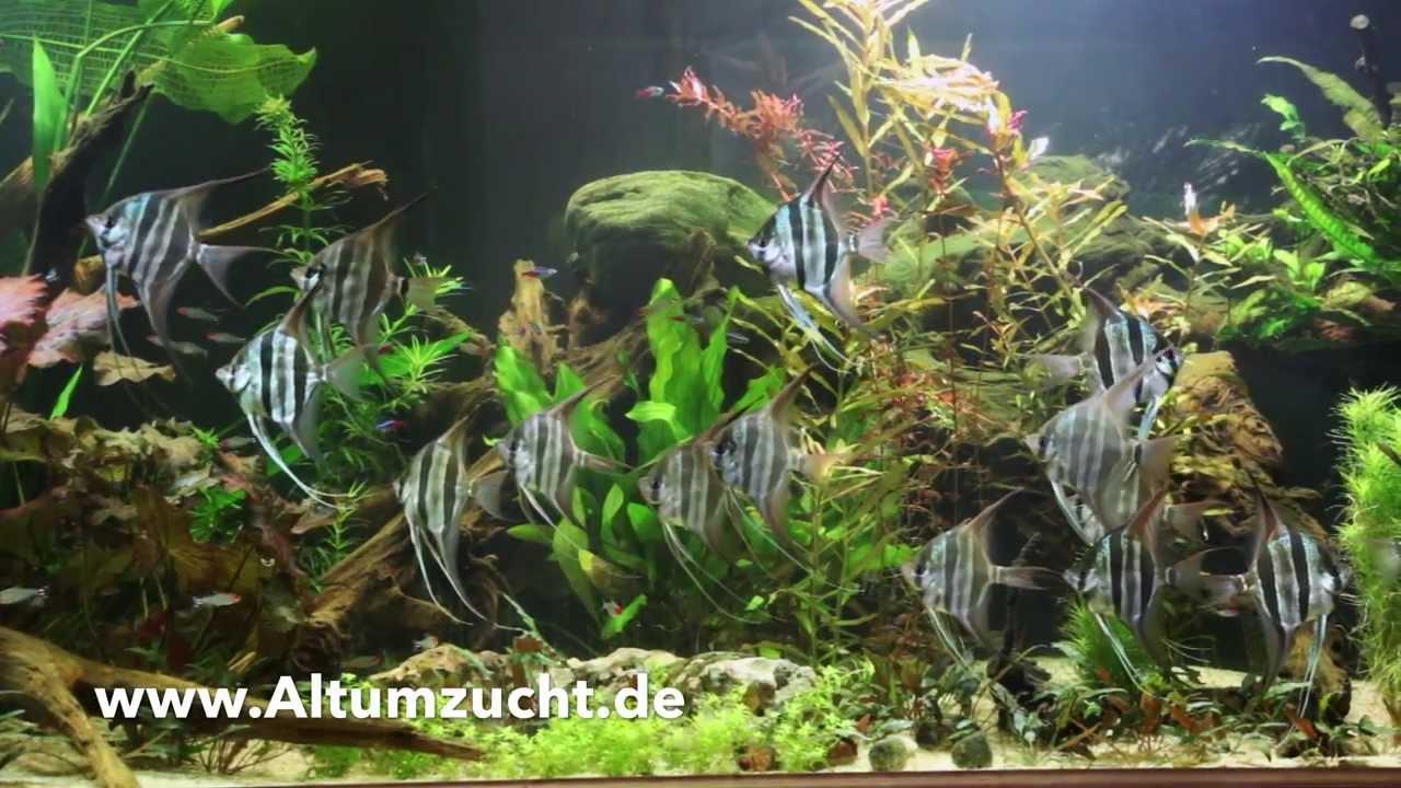 Altum skalare pt altum nachzuchten im neuen 250cm for Skalar aquarium