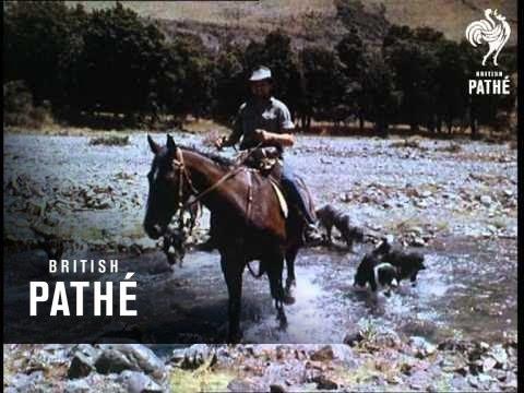 New Zealand Sheep (1955)