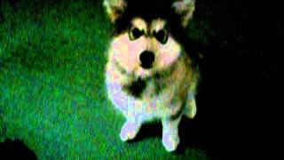 Alaskan Malamute Puppy Training 13 Weeks