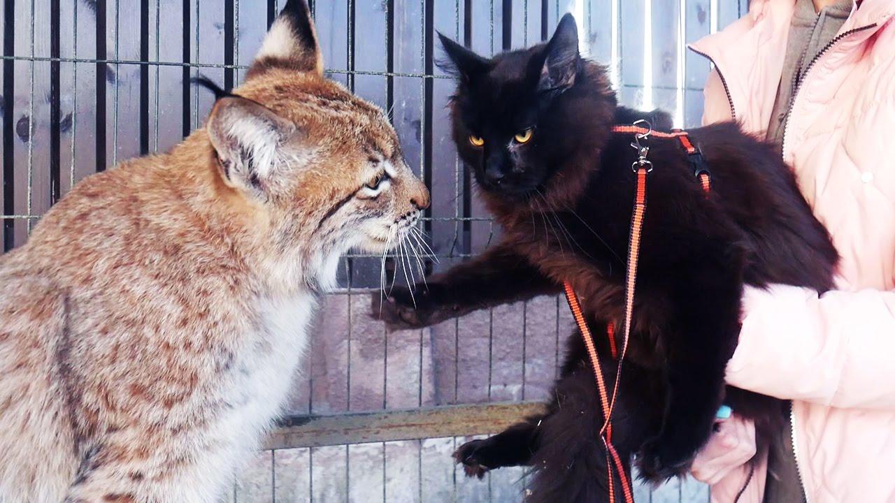 РЕАКЦИЯ РЫСИ НА ПОЯВЛЕНИЕ МЕЙН-КУНА В ВОЛЬЕРЕ. Первая прогулка котёнка вне дома
