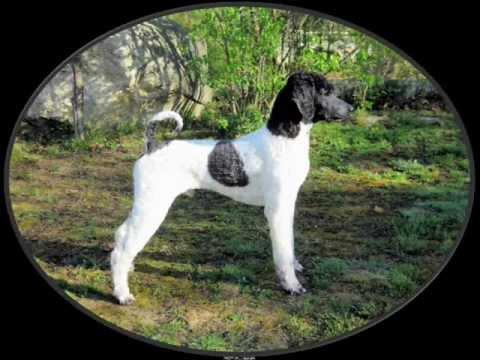 The Poodle: Versatility Par Excellence