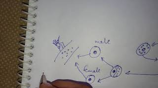 Life cycle of plasmodium
