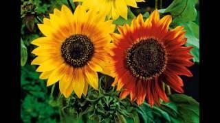 видео Декоративный подсолнух солнце для сада