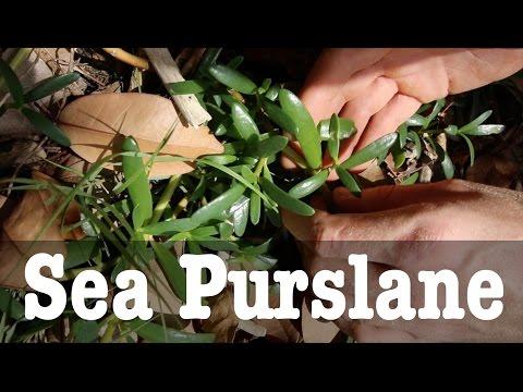 Sea Purslane: A Salty Seaside Snack