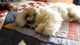 How A Crazy Shih Tzu Releases Pent Up Energy