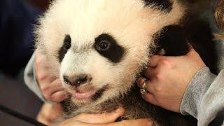 Panda cub is a 'mama's boy'