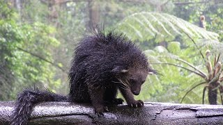 Индонезия. Бинтуронг (binturong).Таман сафари. Indonesia. Taman Safari. Остров Ява Jawa