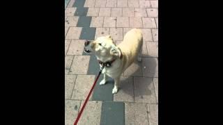 Dog singing with church bells