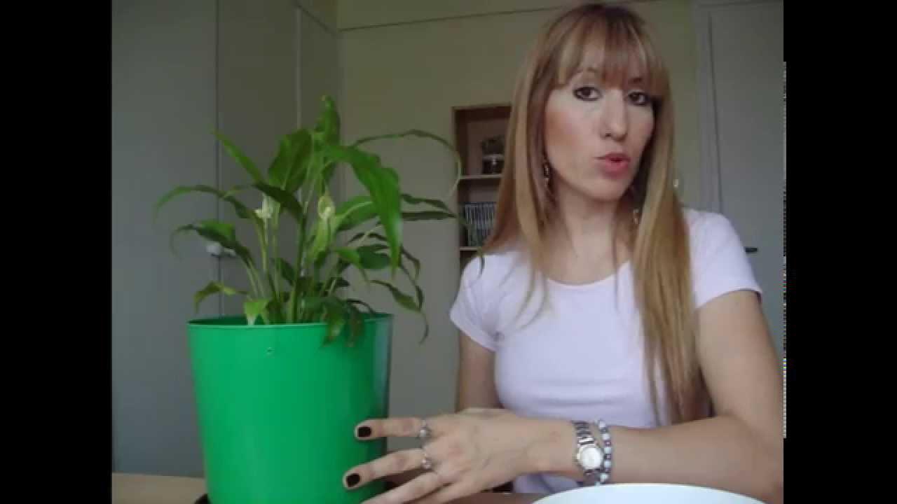 Plantas de interior espatifilo cuidados youtube - Cuidado de plantas de interior ...