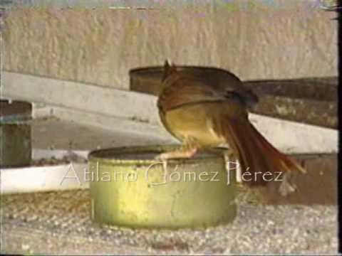 reproduccion de cardenal en yucatan kanasin