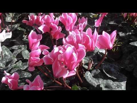 CICLAMEN: Cyclamen hederifolium (www.riomoros.com)