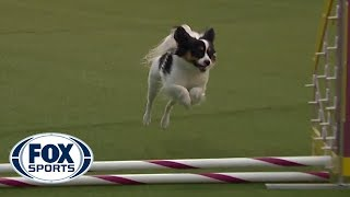 'Fortune' the Papillon captures 8 inch agility title on second run of the contest | FOX SPORTS