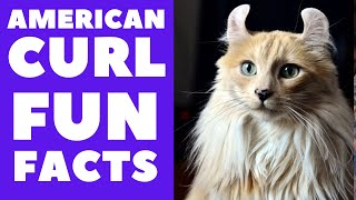 American Curl Cats 101 : Fun Facts