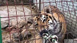 Пропавший из Тайгана тигрёнок Алтай.