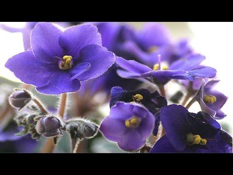 Curso Como Produzir Violetas - Doenças e Insetos