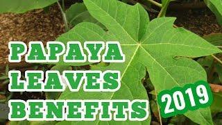 papaya leaves benefits