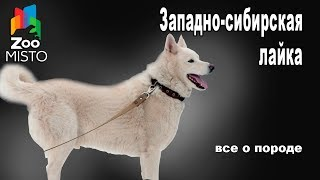 Западно-сибирская лайка - Все о породе собаки | Собака породы Западно-сибирская лайка