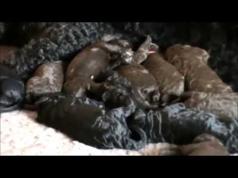 Barbet Puppies born 25/11/14