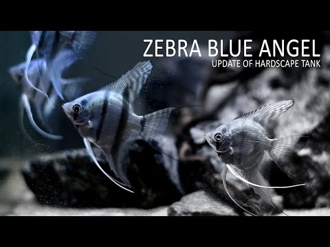 #46 ZEBRA BLUE ANGEL FISH TANK | UPDATE