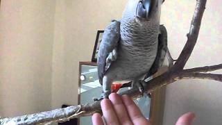 папугай жако гоша 4 месяца